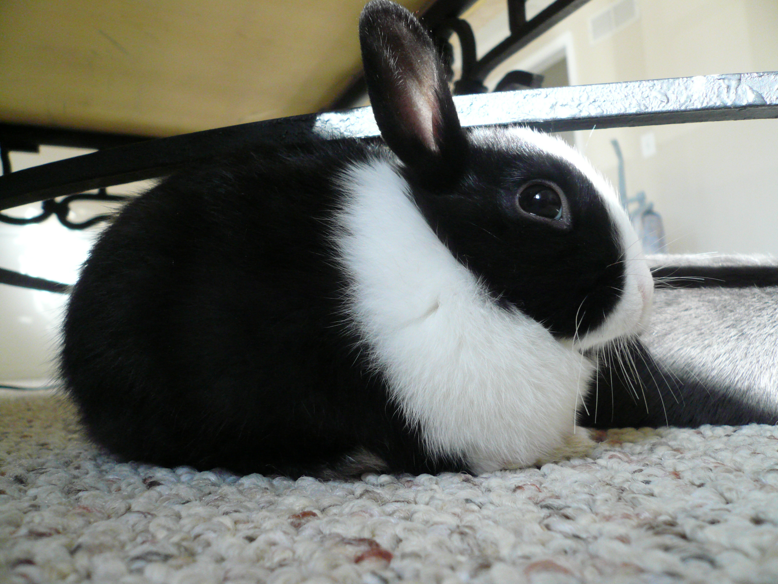 Cute black and white bunny resting. | Things I Like ...